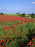 Landscape of a Field of Red Poppies in Flower in Summer, Near Beauvais, Picardie, France Photographic Print by Thouvenin Guy