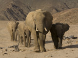 Herd of Desert-Dwelling Elephants, Namibia, Africa Photographic Print by Milse Thorsten