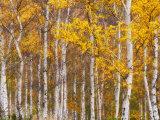 Silver Birches, Dandenong Ranges, Victoria, Australia, Pacific Photographic Print by Schlenker Jochen