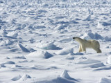 Polar Bear on Pack Ice, Spitsbergen, Svalbard, Norway, Scandinavia, Europe Photographic Print by Milse Thorsten