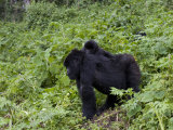 Mountain Gorilla Carrying Her Baby on Her Back, Rwanda Photographic Print by Milse Thorsten