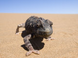 Namaqua Chameleon, Namibia, Africa Photographic Print by Milse Thorsten