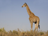 Giraffe, Ithala Game Reserve, Kwazulu Natal, South Africa Photographic Print by Toon Ann & Steve