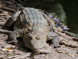 Saltwater Crocodile, Northern Territory, Australia, Pacific Photographic Print by Schlenker Jochen
