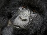 Mountain Gorilla, Kongo, Rwanda, Africa Photographic Print by Milse Thorsten