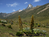 Mount Kenya, with Giant Lobelia in Foreground, Kenya, East Africa, Africa Photographic Print by Poole David
