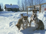 Group of Purebred Siberian Husky Pups at 8 Weeks at Vihari Kennels, Karelia, Finland, Scandinavia Photographic Print by Murray Louise