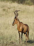 Red Hartebeest, Kgalagadi Transfrontier Park, Northern Cape, South Africa Photographic Print by Toon Ann & Steve