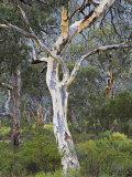 Snow Gum, Western Australia, Australia, Pacific Photographic Print by Schlenker Jochen
