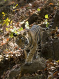 Indian Tiger (Bengal Tiger, Bandhavgarh National Park, Madhya Pradesh State, India Photographic Print by Milse Thorsten