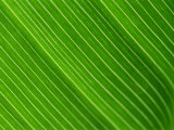 Murray Louise - Close-Up of a Banana Leaf Fotografická reprodukce
