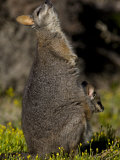 Tammar Wallaby, Kangaroo Island, South Australia, Australia, Pacific Photographic Print by Milse Thorsten