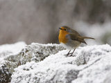 Robin on Frosty Wall in Winter, Northumberland, England, United Kingdom Photographic Print by Toon Ann & Steve