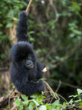 Young Mountain Gorilla, Rwanda, Africa Photographic Print by Milse Thorsten