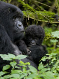 Mountain Gorilla with Her Baby, Kongo, Rwanda, Africa Photographic Print by Milse Thorsten