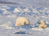 Polar Bear with a Cub Near a Ringed Seal Kill, Svalbard, Spitzbergen, Arctic, Norway, Scandinavia Photographic Print by Milse Thorsten