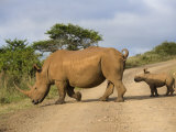 White Rhino and Calf, Ithala Game Reserve, Kwazulu Natal, South Africa Photographic Print by Toon Ann & Steve