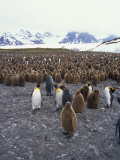 King Penguins and Chicks, South Georgia, South Atlantic, Polar Regions Photographic Print by Renner Geoff