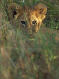 Lion Cub in Grass, Masai Mara, Kenya, East Africa, Africa Photographic Print by Murray Louise