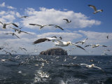 Gannets in Flight, Following Fishing Boat Off Bass Rock, Firth of Forth, Scotland Photographic Print by Toon Ann & Steve