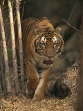 Indo Chinese Tiger Walking in Khao Pardap Chan Bamboo Groves, Thailand, Southeast Asia Photographic Print by Murray Louise