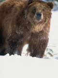 Brown Bear in Snow, North America Photographic Print by Murray Louise