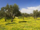 Wildflowers and Trees, Umm Qais Roman City, Umm Qais, Jordan, Middle East Photographic Print by Schlenker Jochen
