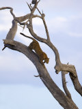 Leopard in Dead Tree, Kruger National Park, Mpumalanga, South Africa, Africa Photographic Print by Toon Ann & Steve
