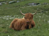 Highland Cattle, Isle of Mull, Scotland, United Kingdom, Europe Photographic Print by Rainford Roy