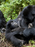 Mountain Gorillas Playing, Rwanda, Africa Photographic Print by Milse Thorsten