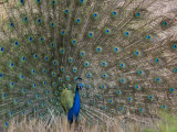 Peacock, Bandhavgarh Tiger Reserve, Madhya Pradesh State, India Photographic Print by Milse Thorsten