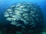 Tightly Balled School of Jack Fish, Sipadan Island, Sabah, Malaysia, Borneo, Southeast Asia Photographic Print by Murray Louise
