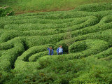 Two People Lost in Glendurgan Maze, Near Falmouth, Cornwall, England, United Kingdom, Europe Photographic Print by Woolfitt Adam