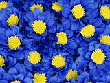 Blue Chrysanthemums Photographic Print by Murray Louise