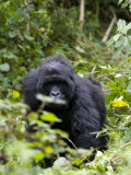 Mountain Gorilla, Rwanda, Africa Photographic Print by Milse Thorsten