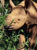Baby Black Rhinoceros, Africa Photographic Print by Stanley Storm