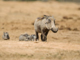 Warthog, Addo National Park, South Africa, Africa Photographic Print by Toon Ann & Steve