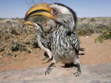 Southern Yellowbilled Hornbill, Kgalagadi Transfrontier Park, South Africa Photographic Print by Toon Ann & Steve