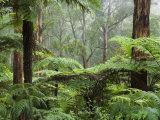 Rainforest, Bunyip State Park, Victoria, Australia, Pacific Photographic Print by Schlenker Jochen