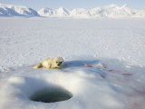 Ringed Seal Pup, Billefjord, Svalbard, Spitzbergen, Artic, Norway, Scandinavia Photographic Print by Milse Thorsten