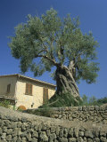 Old Olive Tree in the Garden of a Village House in Deya, Majorca, Balearic Islands, Spain, Europe Photographic Print by Tomlinson Ruth
