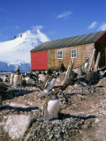 Gentoo Penguins on Nests, Port Lockroy on the Antarctic Peninsula, Antarctica, Polar Regions Photographic Print by Renner Geoff