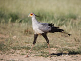 Secretary Bird, Kgalagadi Transfrontier Park, Northern Cape, South Africa Photographic Print by Toon Ann & Steve