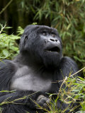 Silverback, Mountain Gorilla, Rwanda, Africa Photographic Print by Milse Thorsten
