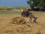 Donkey and Cat, Kastelli, Chania District, Crete, Greek Islands, Greece, Europe Photographic Print by O'callaghan Jane