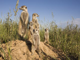 Group of Meerkats, Kalahari Meerkat Project, Van Zylsrus, Northern Cape, South Africa Photographie par Toon Ann & Steve