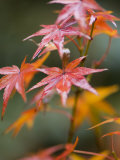 Maple Leaves, Kyoto, Kansai, Honshu, Japan Photographic Print by Schlenker Jochen