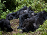 Mountain Gorilla Group, Rwanda, Africa Photographic Print by Milse Thorsten