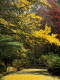 Ginkgo Tree Dropping Autumn Leaves, Alfred Nicholas Gardens, Dandenong Ranges, Victoria, Australia Photographic Print by Schlenker Jochen