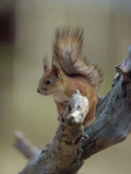 Red Squirrel, Finland, Scandinavia, Europe Photographic Print by Murray Louise